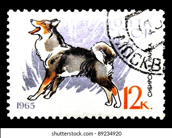 """USSR - CIRCA 1965: A stamp printed in USSR (Russian) shows dogs with the inscription """"Siberian Laika"""" from the series """"Service and hunting dogs"""", circa 1965"""