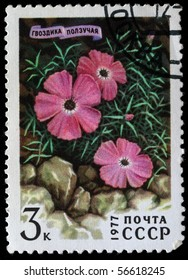 USSR - CIRCA 1977: A stamp printed in the USSR shows carnation, pink or sweet william - Dianthus repens, circa 1977