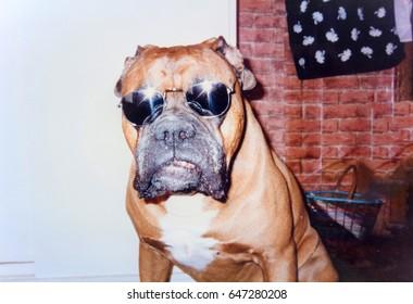 USSR, LENINGRAD - CIRCA 1996: Vintage photo of funny boxer dog in sunglasses