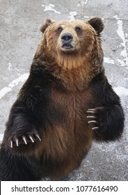 A Ussuri brown bear in a bear ranch in Hokkaido waves its paw at visitors which it sees carrying a bag of food.