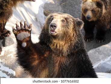 An Ussuri brown bear in a bear ranch in Hokkaido waves its paw at visitors which it sees carrying a bag of food.