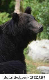 Ussuri Brown Bear (Ursus Arctos Lasiotus) sitting and watching another bear nearby.