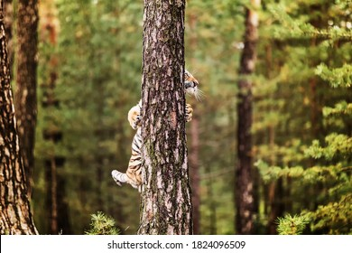 Ussuri tiger hidden behind a tree.(Panthera tigris) also called Amur tiger (Panthera tigris altaica) in the forest, Young female tiger in the grass.