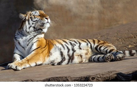 ussurian tiger is having sunbath