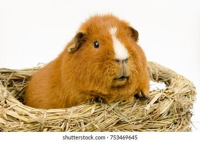 US-Teddy guinea pig in nest