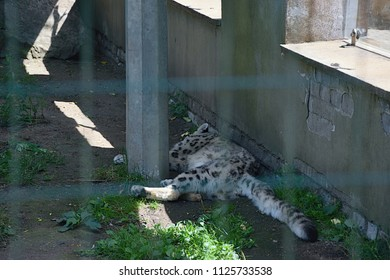 Usti nad Labem, Czech republic - June 30, 2018: Clouded Leopard is sleeping in shadow of his  house in ZOO of czech city Usti nad Labem