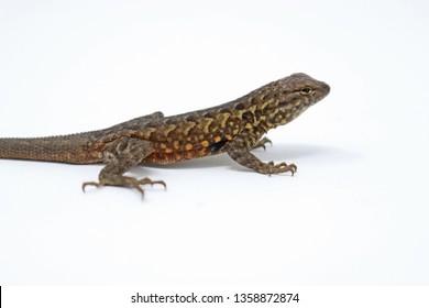 Uta stansburiana Side-blotched Lizard