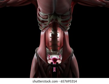 Uterus and ovaries. Female reproductive system. 3d illustration