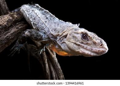 The Utila Iguana (Ctenosaura bakeri) is a critically endangered lizard species.