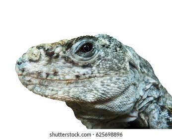 Utila iguana lizard reptile isolated background