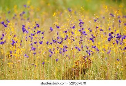 Utricularia delphinioides and Lentibulariaceae / Grass flower field found in Northeastern region of Thailand