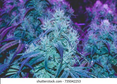 UV light frosted medical marijuana flowers with large colas featuring long white and amber pistils and THC trichomes