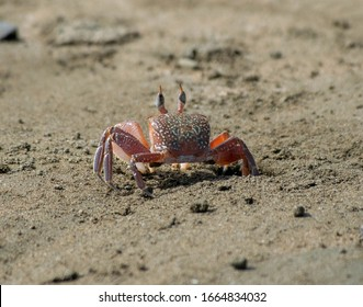 Uvita, Costa Rica. Ballena National Marine Park. Named after the Humpback Whales that migrate here each year. Crab crawling in sand on the beach. Halloween crab.