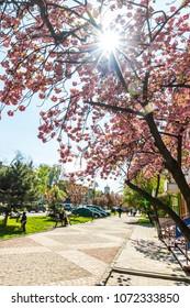 UZHHOROD, UKRAINE - APRIL 15, 2017: Blossoming pink sakura trees on Svobody avenue in Uzhhorod, Transcarpathia, Ukraine