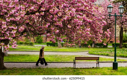 Uzhhorod, Ukraine - April 18, 2017: A woman walks under a sakura tree that blooms in one of the city parks.