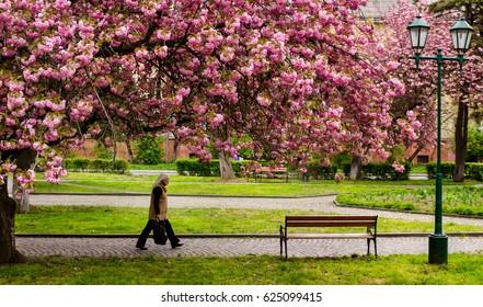 Uzhhorod, Ukraine - April 18, 2017: A woman walks under a sakura tree that blooms in one of the city parks.