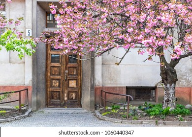 Uzhhorod, Ukraine - May 1, 2017: Blossoming pink sakura trees on the streets of Uzhhorod, Transcarpathian region. Sakura can be found in many parts of Uzhhorod, total number of trees is more than 2000