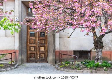 Uzhhorod, Ukraine - May 1, 2017: Blossoming pink sakura trees on the streets of Uzhhorod, Transcarpathian region. Sakura can be found in many parts of Uzhhorod, total number of trees is more than 2000