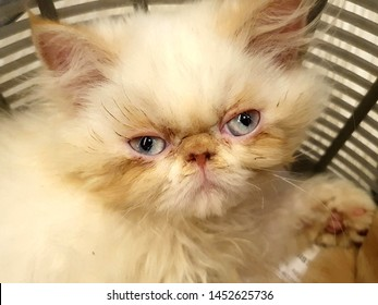 V Open.Light Blue eyes (Pink eyelids) angry sleepy Yoda Look alike. Most adorable cute white fluffy Persian Cat. Super sleepy and did not want to get up and play. She tried hard to keep her eyes open.