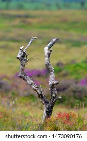 'V' shaped branch found at Hay Tor in Dartmoor National Park.