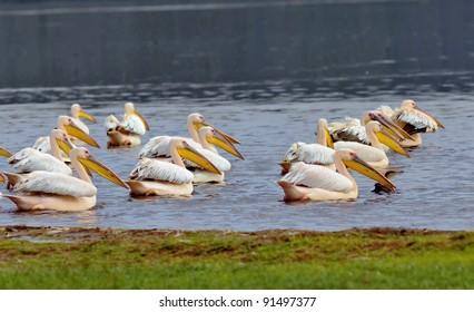 Vacationers white pelicans in Lake Nakuru National Park - Kenya, Africa