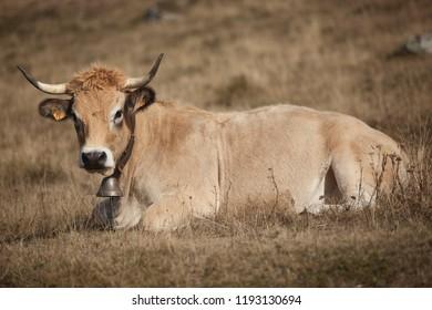 vache Aubrac a Marchastel