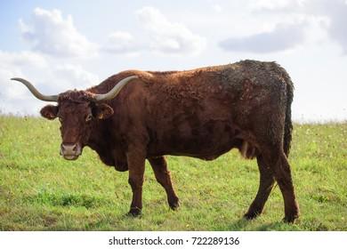 vache de salers aurillac vitrac cantal