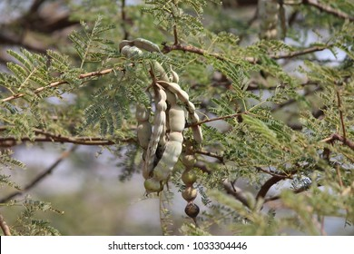 Vachellia nilotica commonly known as gum arabic tree, babul, thorn mimosa, Egyptian acacia or thorny acacia is a tree in the family Fabaceae. It is native to Africa, the Middle East and the Indian sub