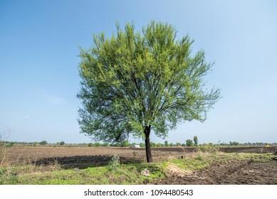 Vachellia nilotica or gum arabic tree, Salunkwadi, Ambajogai Beed, Maharashtra, India, southeast, Asia.