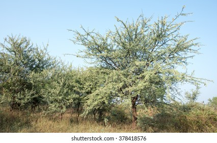 Kikar Tree Images, Stock Photos & Vectors   Shutterstock