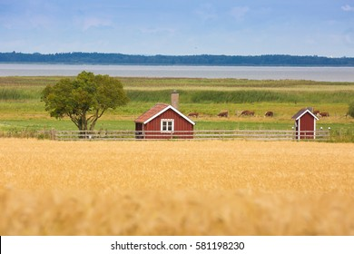 VADSTENA SWEDEN 26 July 2016. Barley fields with little red cottage in the background. Typical Swedish country setting.