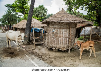 VAISHALI, INDIA - JULY 18 2016: cows standing in rural village  Vaishali on July 18, 2016 in Vaishali, India.