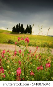 Val d'Orcia, Italy- June, 2019 : Cypress trees near San Quirico d'Orcia with beautiful flowers in foreground and cloudy sky, Italy.