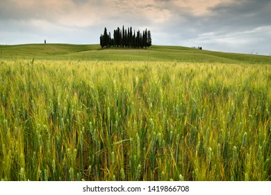 Val d'Orcia, Italy- June, 2019 : green wheat field and cypress trees near San Quirico d'Orcia with cloudy sky, Italy.