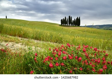 Val d'Orcia, Italy- June, 2019 : Cypress trees near San Quirico d'Orcia with flowers in foreground and cloudy sky, Italy.