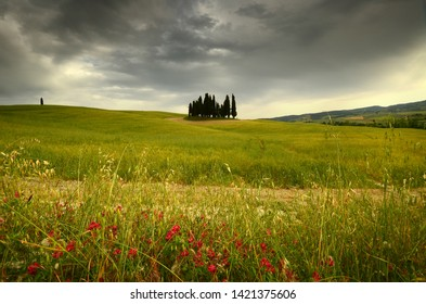 Val d'Orcia, Italy- June, 2019: Cypress trees near San Quirico d'Orcia with beautiful flowers in foreground and cloudy sky, Italy.