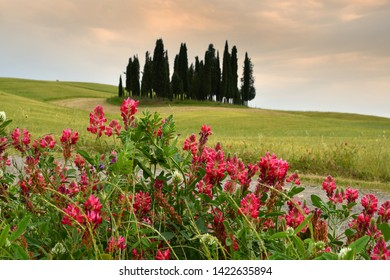 Val d'Orcia, Italy- June, 2019 : Cypress trees near San Quirico d'Orcia with Lupinella flowers in foreground and cloudy sky, Italy.