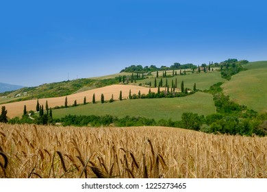 Val d'Orcia, Tuscany, Italy. June 15th 2015: Durum wheat growing in Tuscany countryside, used for making pasta