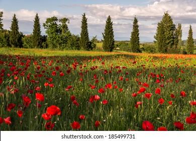 VAL D'ORCIA TUSCANY/ITALY - MAY 19 : Poppy field in Tuscany on May 19, 2013