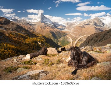 Valais Blackneck Goats in front of the Matterhorn, Switzerland
