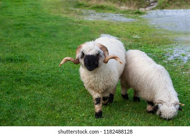 Valais Blacknose ram with ewe grazing on the stony pasture in Swiss alps