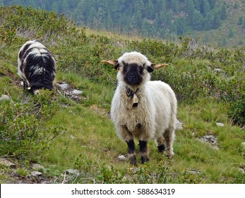 Valais black-nose sheep