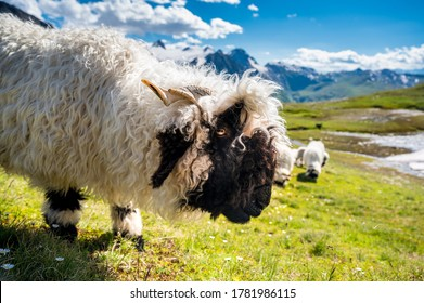 Valais Blacknose sheep on Nufenenpass in the Valais Alps