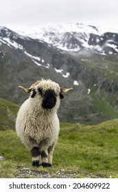 A Valais Blacknose Sheep in the Swiss Alps near Zermatt Animal / Mountain Background