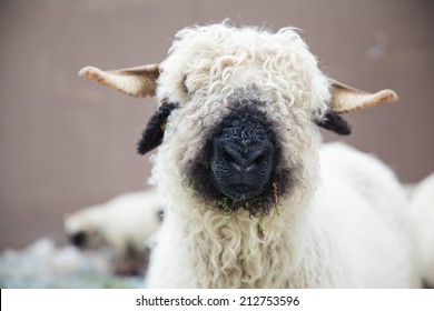 Valais Blacknose Sheep in Zermatt, Swiss