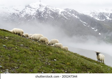 Valais Blacknose Sheeps in the Swiss Alps near Zermatt   Animal / Mountain Background
