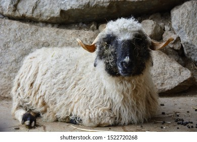 Valais black-nosed sheep lying on ground, looking into camera
