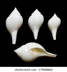 Valampuri shank or Great indian chank seashell isolated on black background