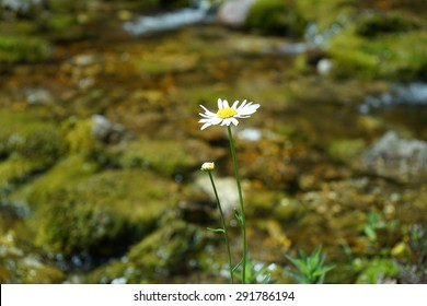 Valbona Valley National Park in Albania: A flower of chamomile on the background of a clear water spring