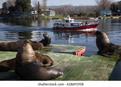 VALDIVIA, CHILE-MARCH 23, 2015: Tourists in Valdivia Chile are visiting the Lions sea in the riverbank on March 23, 2015 in Valdivia, Chile